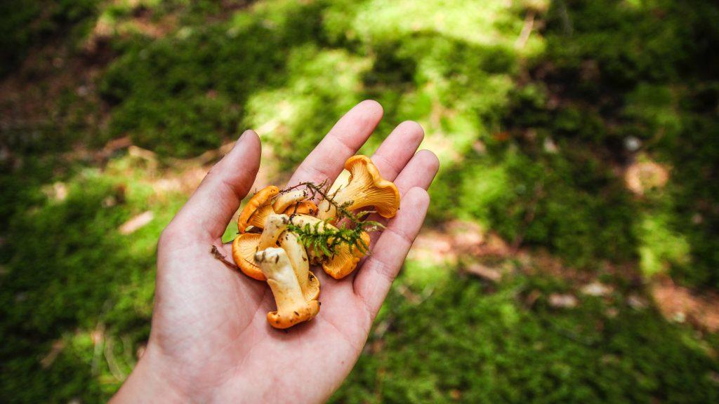 svampekogebogen, lasagne med kantareller, svampelasagne