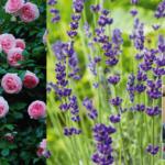 Beskæring – helt enkelt: Sådan beskærer du roser, hibiscus og lavendel