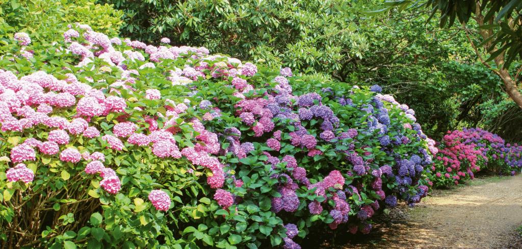 Beskæring - helt enkelt, blomsterbusk