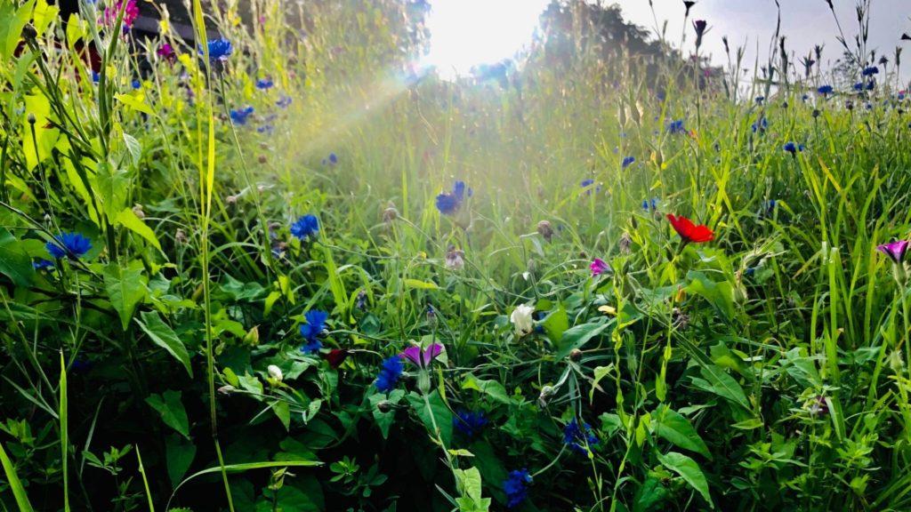 Plant for honningbierne, honningbier, Sarah Wyndham Lewis