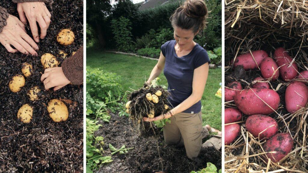 kartofler, fra graesplaene til grontsagsmark, lene skrumsager møller, tangkartofler